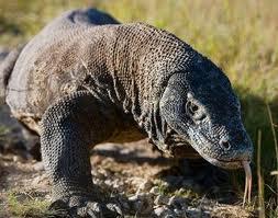 Гигантские ящерицы на Комодо