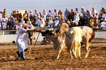 Бой быков в султанате Оман