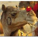 верблюжья ярмарка в Пупкаре