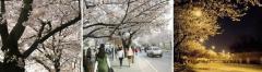 Фестиваль весенних цветов на Йоидо
